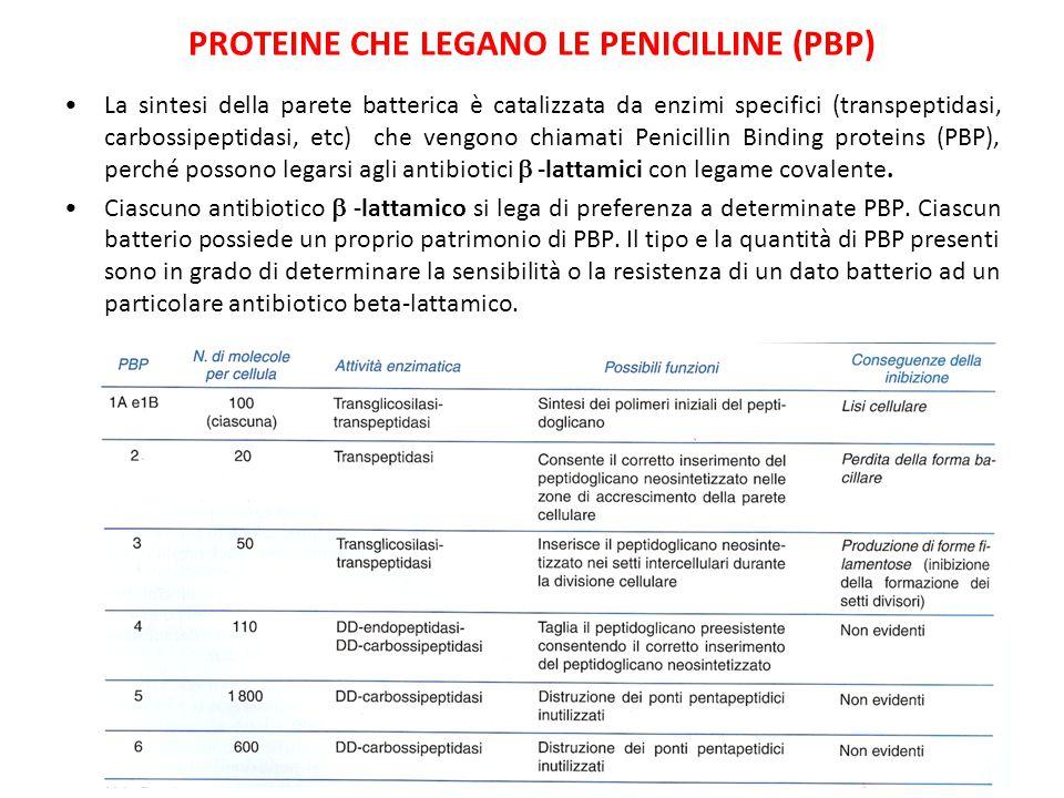PROTEINE CHE LEGANO LE PENICILLINE (PBP) La sintesi della parete batterica è catalizzata da enzimi specifici (transpeptidasi, carbossipeptidasi, etc)