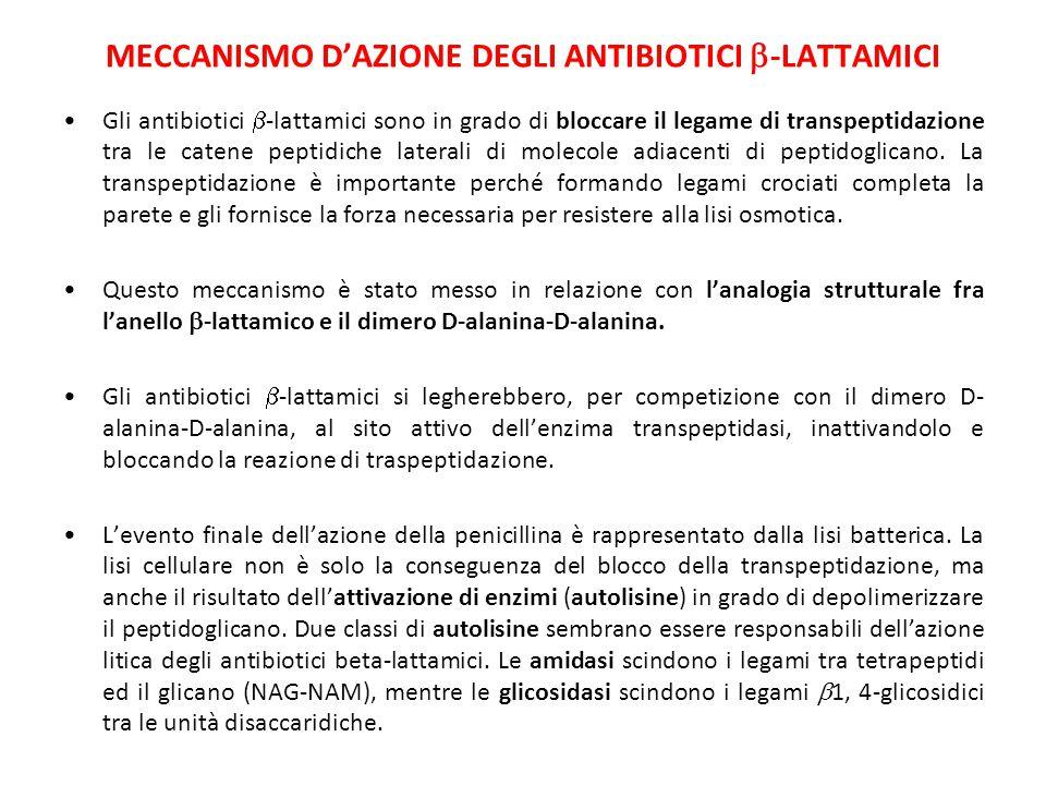 MECCANISMO D'AZIONE DEGLI ANTIBIOTICI  -LATTAMICI Gli antibiotici  -lattamici sono in grado di bloccare il legame di transpeptidazione tra le catene