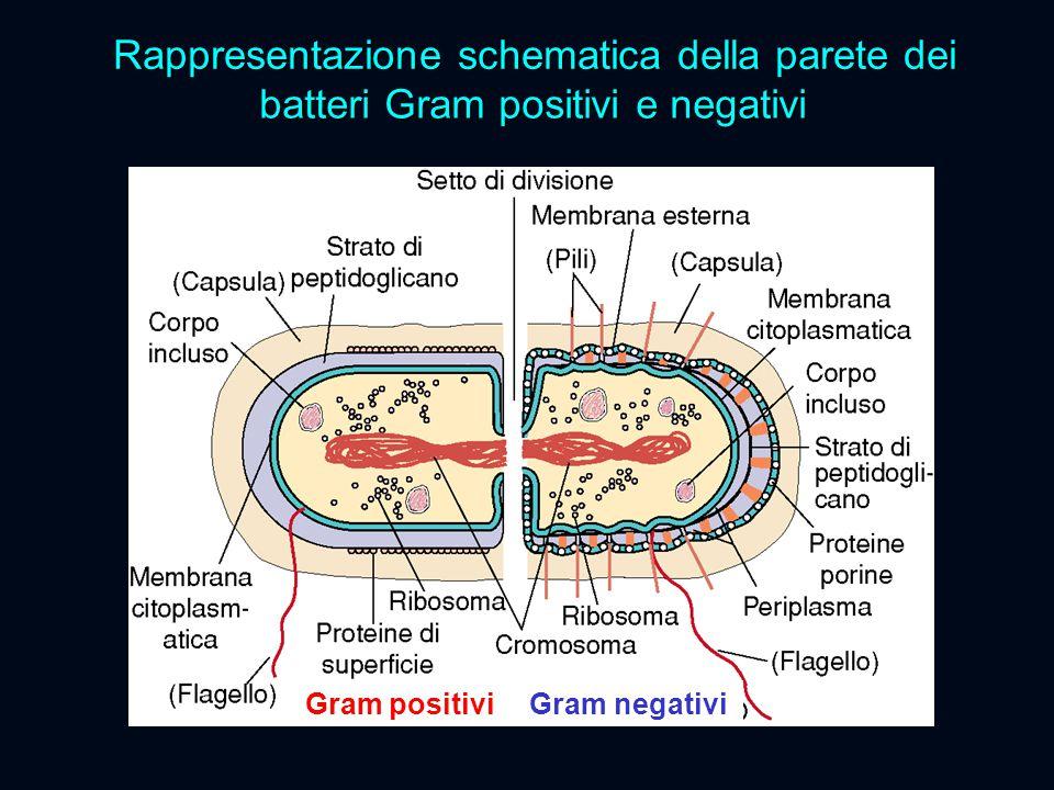 Rappresentazione schematica della parete dei batteri Gram positivi e negativi Gram positivi Gram negativi