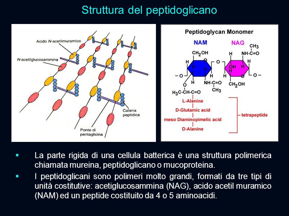 Struttura del peptidoglicano  La parte rigida di una cellula batterica è una struttura polimerica chiamata mureina, peptidoglicano o mucoproteina. 