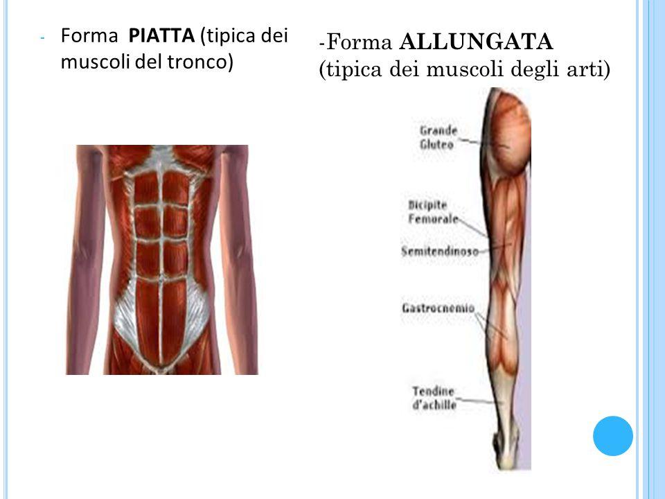 - Forma PIATTA (tipica dei muscoli del tronco) -Forma ALLUNGATA (tipica dei muscoli degli arti)