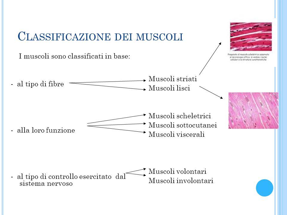 C LASSIFICAZIONE DEI MUSCOLI I muscoli sono classificati in base: - al tipo di fibre - alla loro funzione - al tipo di controllo esercitato dal sistem