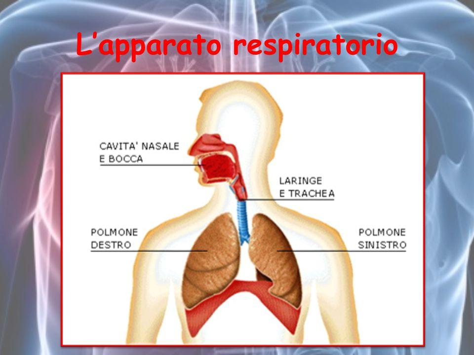 L'apparato respiratorio