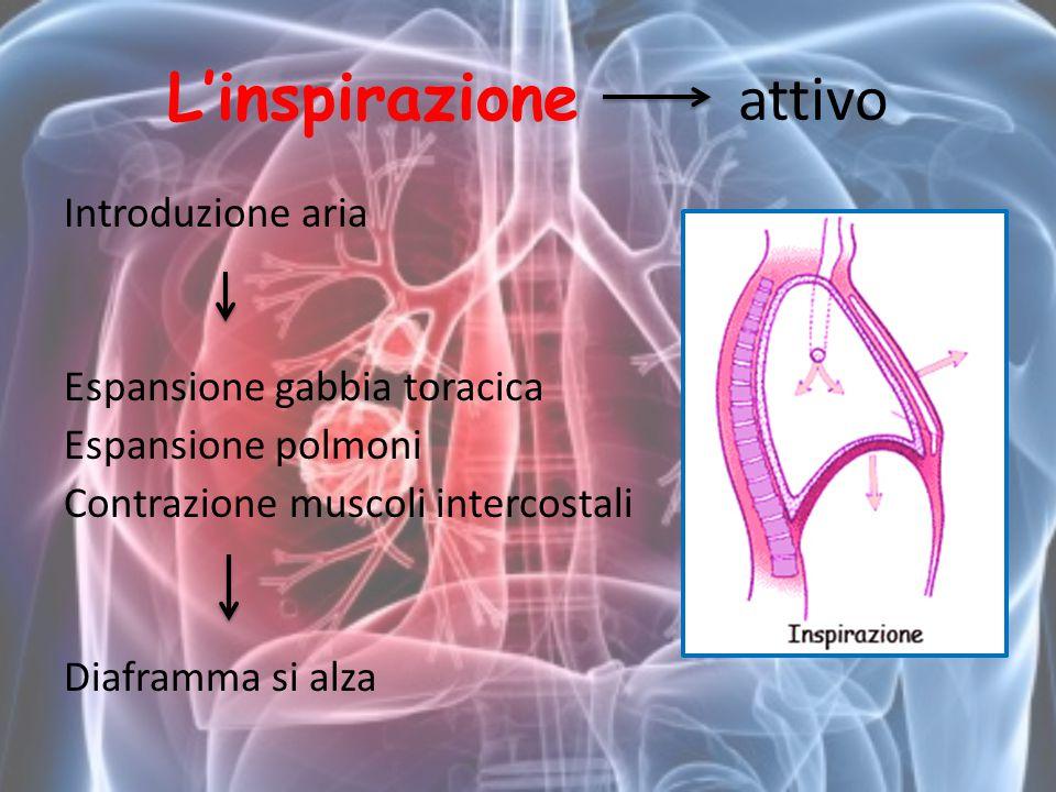 L'inspirazione attivo Introduzione aria Espansione gabbia toracica Espansione polmoni Contrazione muscoli intercostali Diaframma si alza