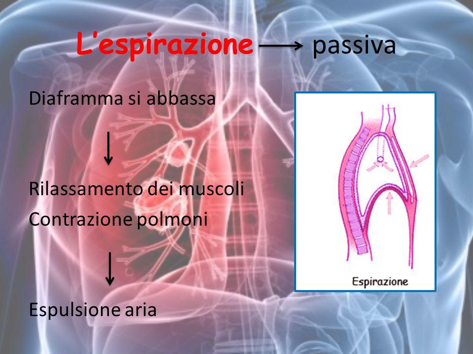 L'espirazione passiva Diaframma si abbassa Rilassamento dei muscoli Contrazione polmoni Espulsione aria