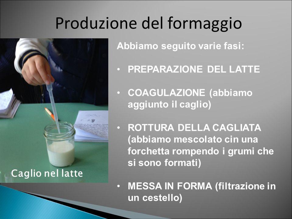 Produzione del formaggio Caglio nel latte Abbiamo seguito varie fasi: PREPARAZIONE DEL LATTE COAGULAZIONE (abbiamo aggiunto il caglio) ROTTURA DELLA C