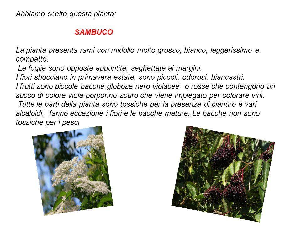 Abbiamo scelto questa pianta: SAMBUCO La pianta presenta rami con midollo molto grosso, bianco, leggerissimo e compatto. Le foglie sono opposte appunt