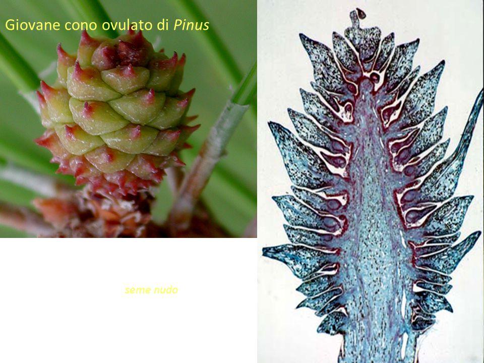 """Giovane cono ovulato di Pinus Gli ovuli sono portati direttamente sulla superficie degli sporofilli o di strutture analoghe: Gimnosperma significa """"se"""