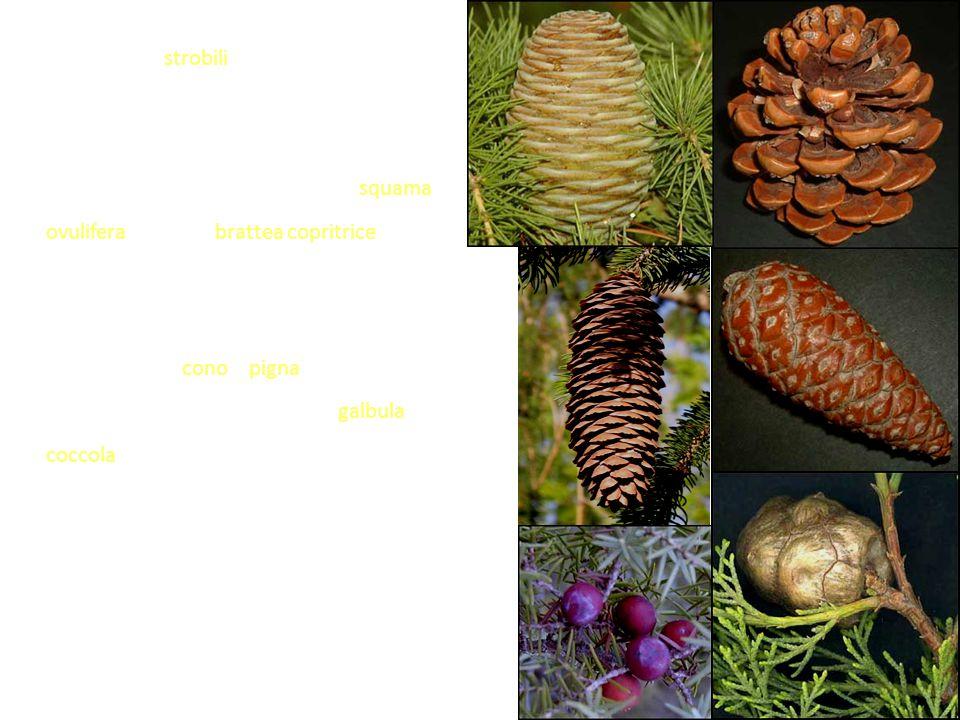 Per lo più gli strobili hanno una struttura complessa costituita da una serie di verticilli raccordati da un asse principale in cui ogni elemento è ra