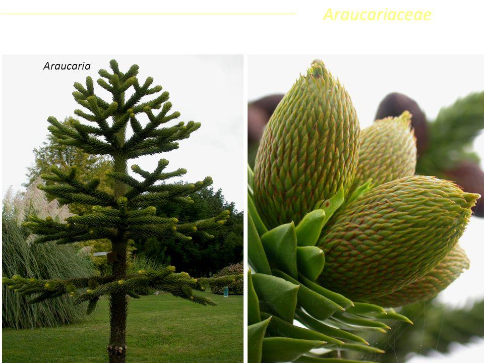 Sottoclasse ClassePhylumFamiglia Coniferophyta PinopsidaPinidae - Conifere AraucariaceaeAraucaria