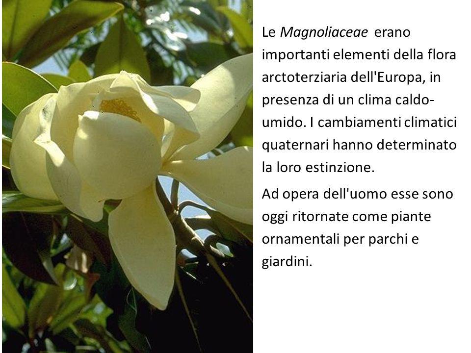 Le Magnoliaceae erano importanti elementi della flora arctoterziaria dell'Europa, in presenza di un clima caldo- umido. I cambiamenti climatici quater