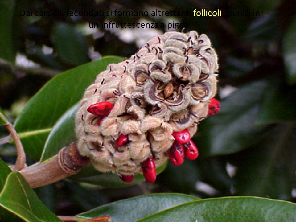Dai carpelli fecondati si formano altrettanti follicoli, riuniti in un'infruttescenza a pigna.