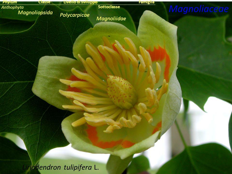 Liriodendron tulipifera L. Magnoliaceae Sottoclasse ClassePhylumFamiglia Anthophyta Magnoliopsida Magnoliidae Livello di sviluppo Polycarpicae