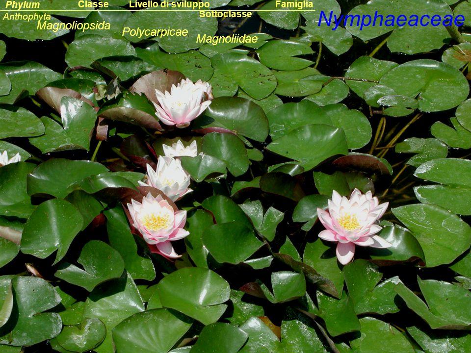 Nymphaeaceae Sottoclasse ClassePhylumFamiglia Anthophyta Magnoliopsida Magnoliidae Livello di sviluppo Polycarpicae