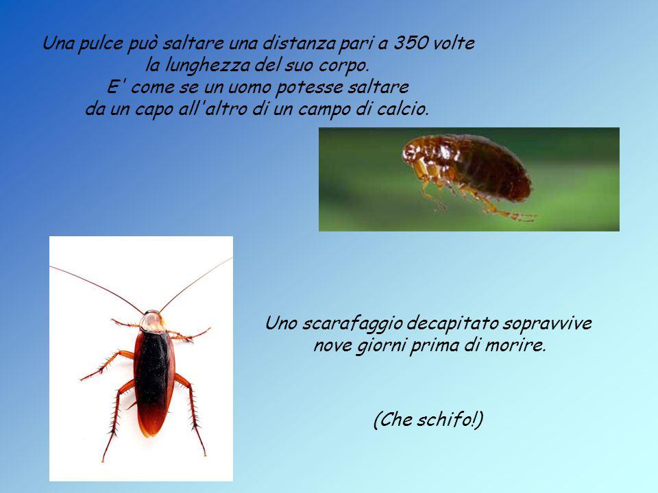 Una pulce può saltare una distanza pari a 350 volte la lunghezza del suo corpo.