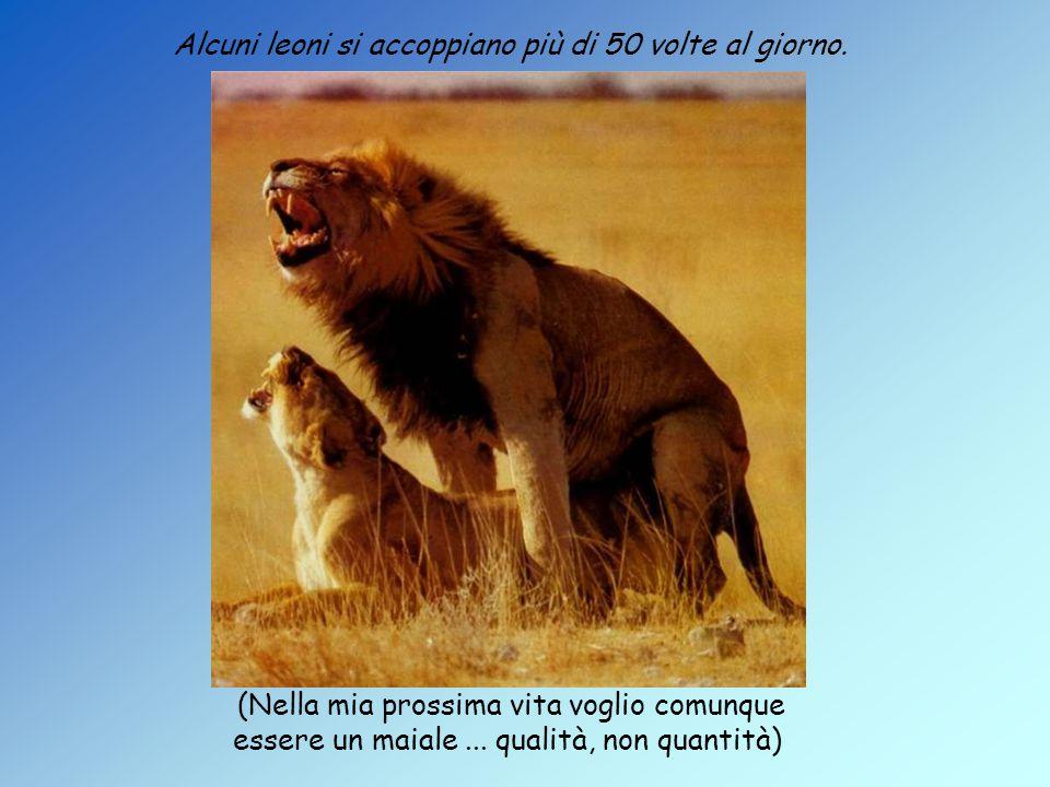 Alcuni leoni si accoppiano più di 50 volte al giorno.