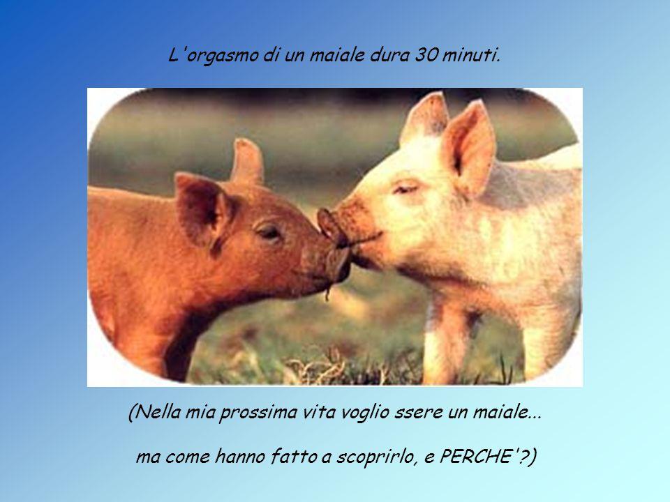 L orgasmo di un maiale dura 30 minuti. (Nella mia prossima vita voglio ssere un maiale...