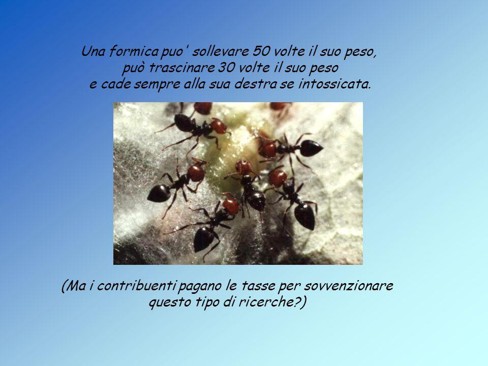 Una formica puo sollevare 50 volte il suo peso, può trascinare 30 volte il suo peso e cade sempre alla sua destra se intossicata.