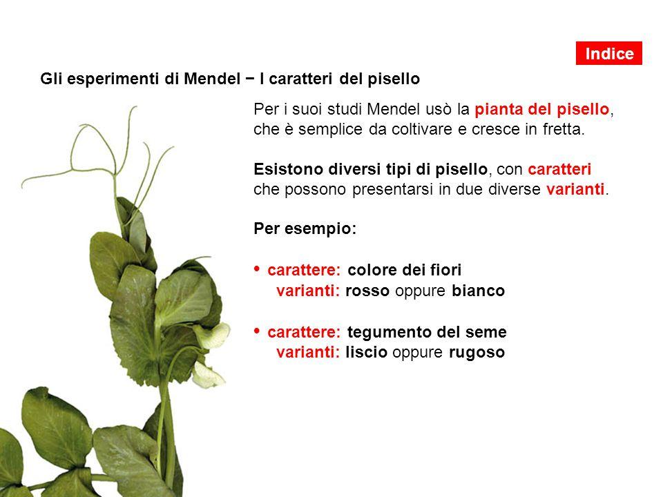Gli esperimenti di Mendel − I caratteri del pisello Per i suoi studi Mendel usò la pianta del pisello, che è semplice da coltivare e cresce in fretta.