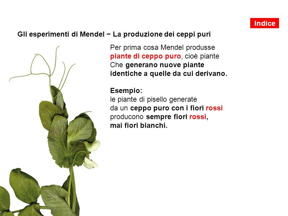 Gli esperimenti di Mendel − La produzione dei ceppi puri Per prima cosa Mendel produsse piante di ceppo puro, cioè piante Che generano nuove piante id