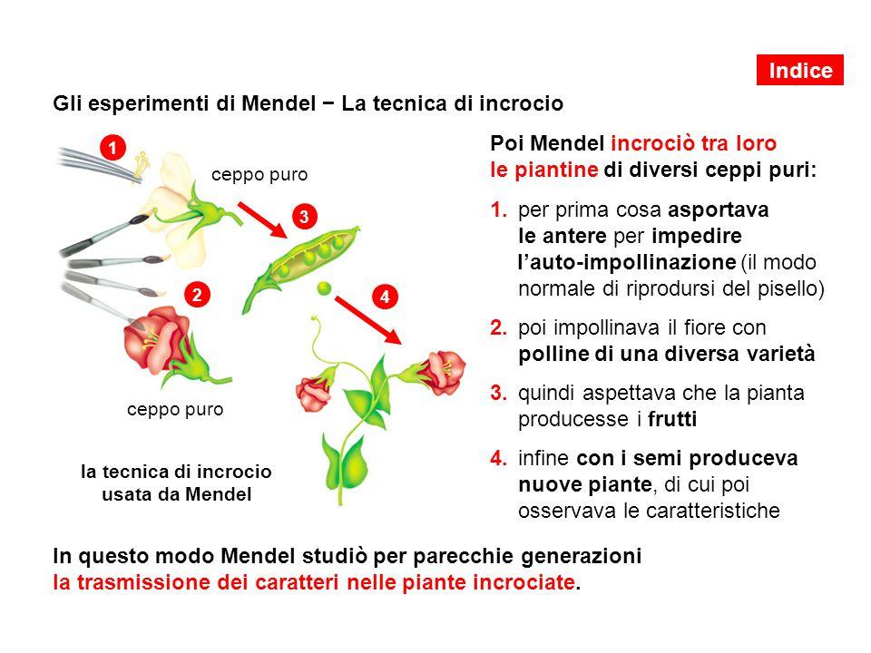 Gli esperimenti di Mendel − La tecnica di incrocio Poi Mendel incrociò tra loro le piantine di diversi ceppi puri: In questo modo Mendel studiò per pa
