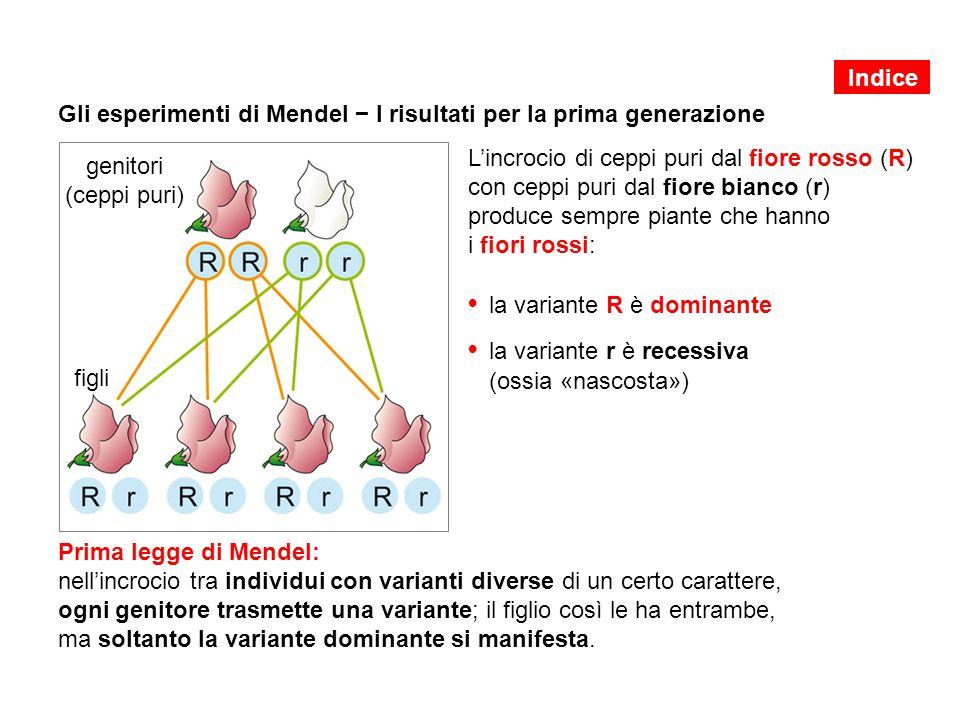 Gli esperimenti di Mendel − I risultati per la prima generazione L'incrocio di ceppi puri dal fiore rosso (R) con ceppi puri dal fiore bianco (r) prod