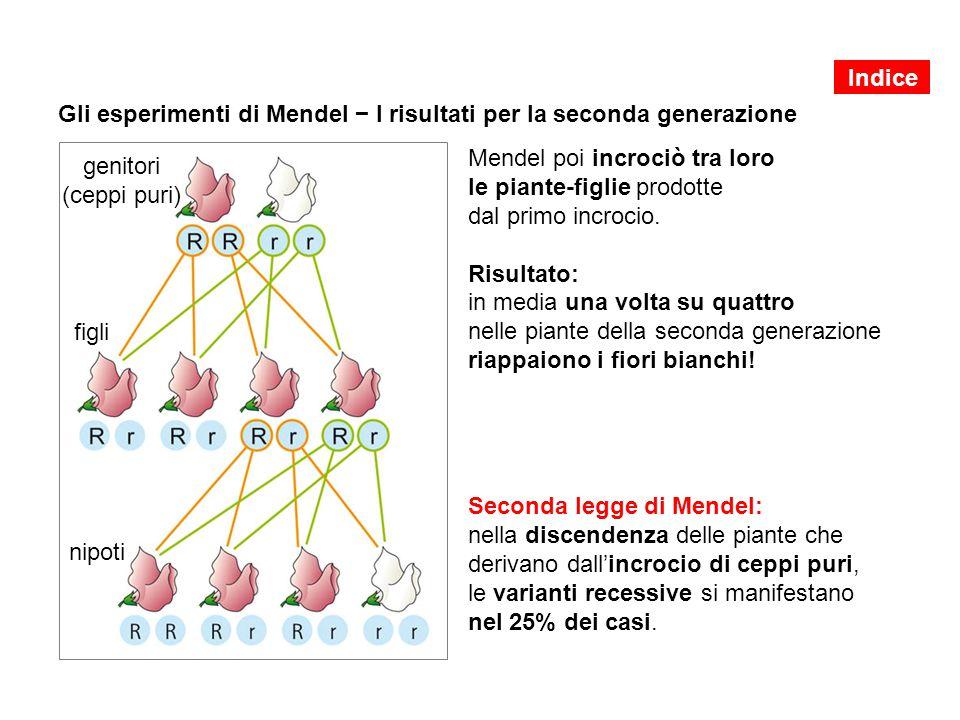 Gli esperimenti di Mendel − I risultati per la seconda generazione Mendel poi incrociò tra loro le piante-figlie prodotte dal primo incrocio. Risultat