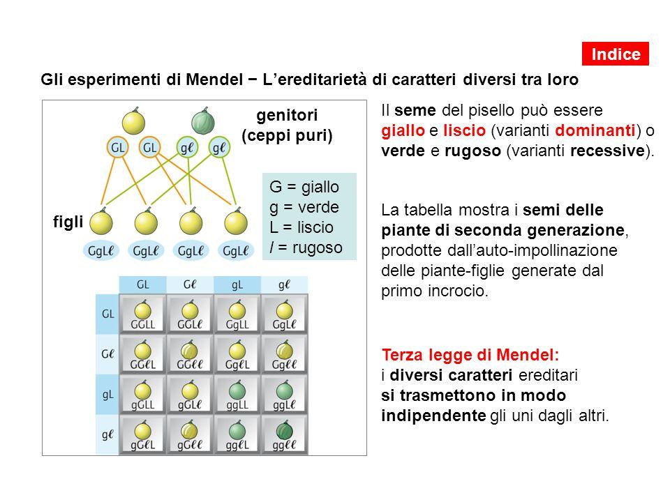 Gli esperimenti di Mendel − L'ereditarietà di caratteri diversi tra loro Il seme del pisello può essere giallo e liscio (varianti dominanti) o verde e