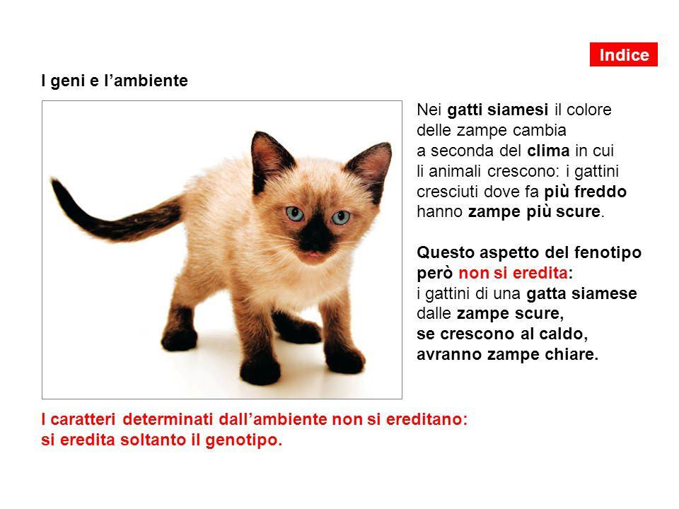 I geni e l'ambiente Nei gatti siamesi il colore delle zampe cambia a seconda del clima in cui li animali crescono: i gattini cresciuti dove fa più fre