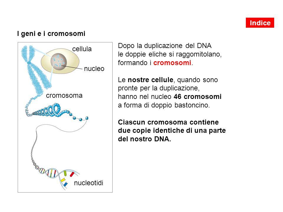 I geni e i cromosomi Dopo la duplicazione del DNA le doppie eliche si raggomitolano, formando i cromosomi. Le nostre cellule, quando sono pronte per l