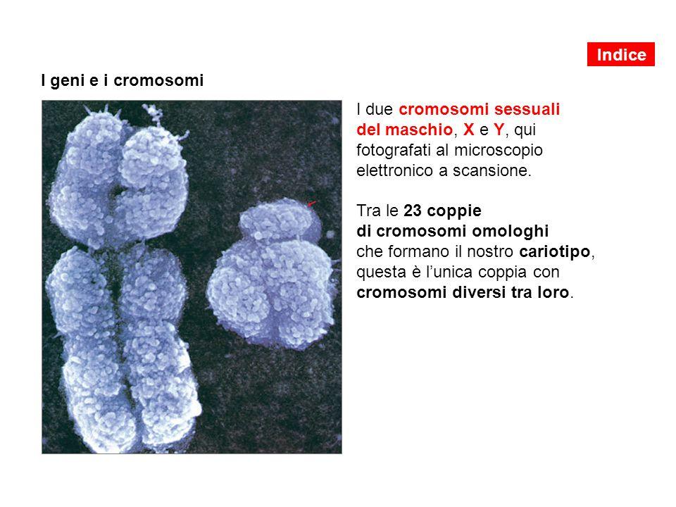 I geni e i cromosomi I due cromosomi sessuali del maschio, X e Y, qui fotografati al microscopio elettronico a scansione. Tra le 23 coppie di cromosom