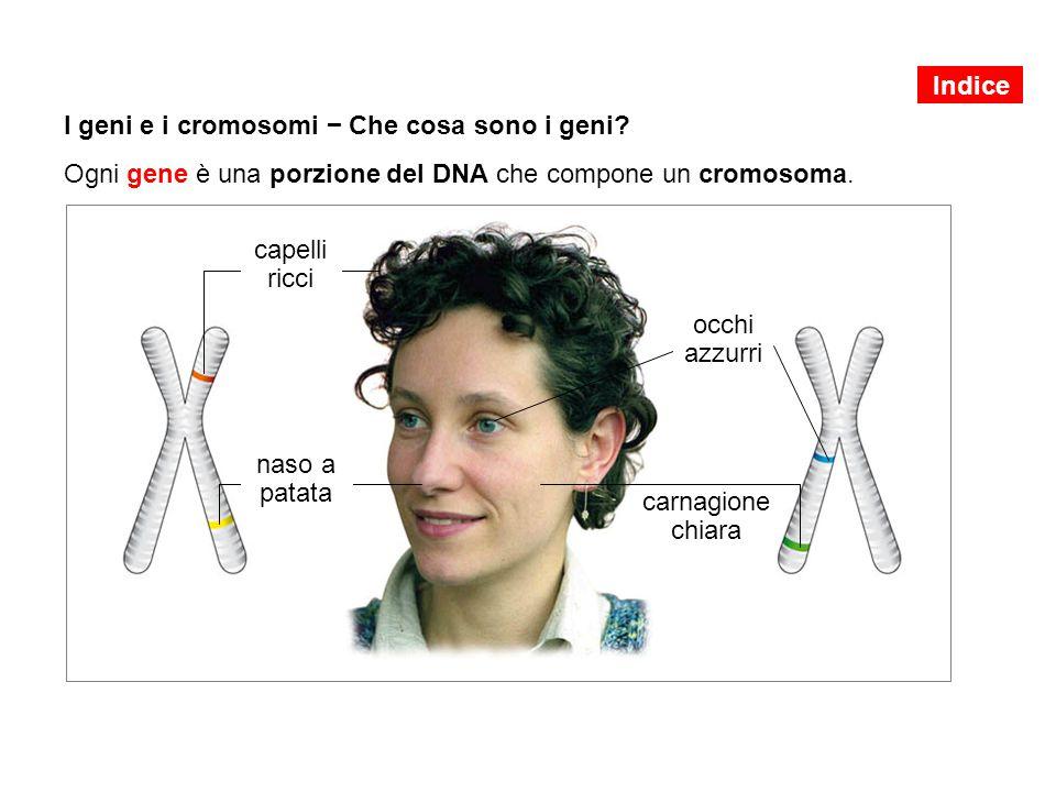 I geni e i cromosomi − Che cosa sono i geni? Ogni gene è una porzione del DNA che compone un cromosoma. capelli ricci naso a patata occhi azzurri carn