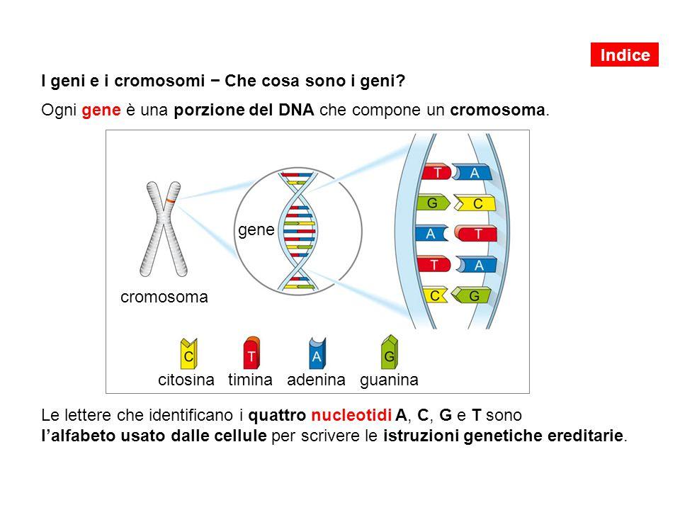 I geni e i cromosomi − Che cosa sono i geni? Ogni gene è una porzione del DNA che compone un cromosoma. Le lettere che identificano i quattro nucleoti