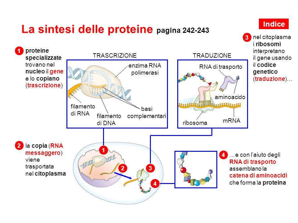La sintesi delle proteine pagina 242-243 proteine specializzate trovano nel nucleo il gene e lo copiano (trascrizione) TRASCRIZIONE filamento di DNA f