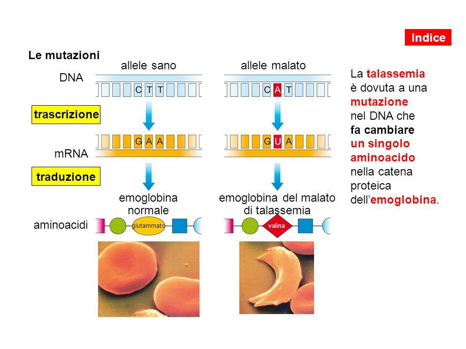 Le mutazioni La talassemia è dovuta a una mutazione nel DNA che fa cambiare un singolo aminoacido nella catena proteica dell'emoglobina. DNA allele sa