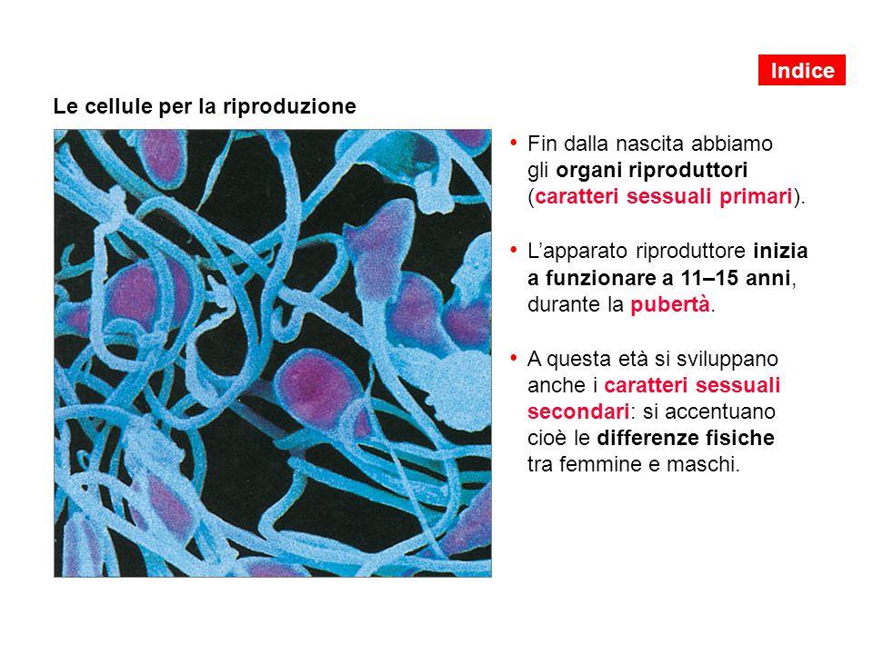 Le cellule per la riproduzione Fin dalla nascita abbiamo gli organi riproduttori (caratteri sessuali primari). L'apparato riproduttore inizia a funzio