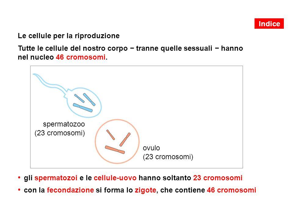 Le cellule per la riproduzione Tutte le cellule del nostro corpo − tranne quelle sessuali − hanno nel nucleo 46 cromosomi. gli spermatozoi e le cellul