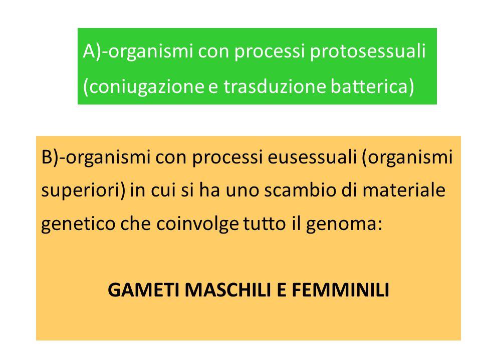 B)-organismi con processi eusessuali (organismi superiori) in cui si ha uno scambio di materiale genetico che coinvolge tutto il genoma: GAMETI MASCHI
