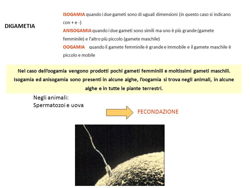 DIGAMETIA Negli animali: Spermatozoi e uova FECONDAZIONE ISOGAMIA quando i due gameti sono di uguali dimensioni (in questo caso si indicano con + e -)