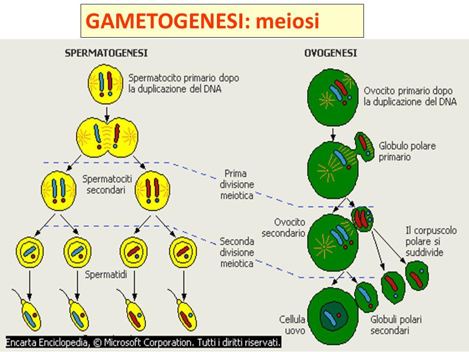 GAMETOGENESI: meiosi