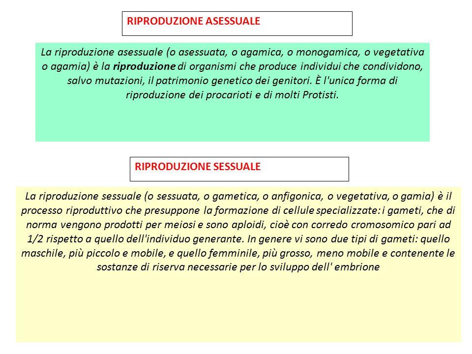 RIPRODUZIONE ASESSUALE La riproduzione asessuale (o asessuata, o agamica, o monogamica, o vegetativa o agamia) è la riproduzione di organismi che prod