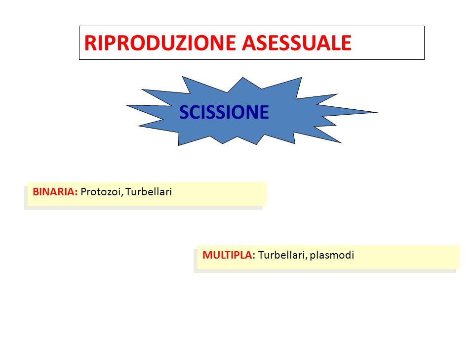 MODI DI RIPRODUZIONE NEI PROTOZOI A) RIPRODUZIONE ASESSUALE Scissione binaria -longitudinale (flagellati) -trasversale (ciliati) Scissione multipla -schizogonia (merozoiti): precede la riproduzione sessuale -sporogonia (sporozoiti): segue la riproduzione sessuale A) RIPRODUZIONE ASESSUALE Scissione binaria -longitudinale (flagellati) -trasversale (ciliati) Scissione multipla -schizogonia (merozoiti): precede la riproduzione sessuale -sporogonia (sporozoiti): segue la riproduzione sessuale