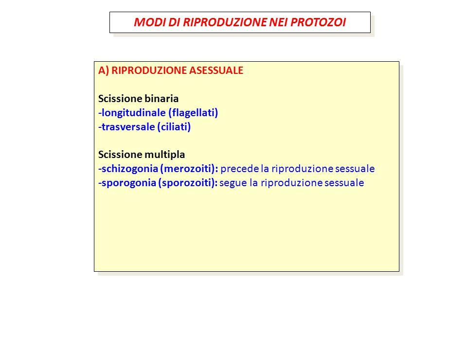 MODI DI RIPRODUZIONE NEI PROTOZOI A) RIPRODUZIONE ASESSUALE Scissione binaria -longitudinale (flagellati) -trasversale (ciliati) Scissione multipla -s