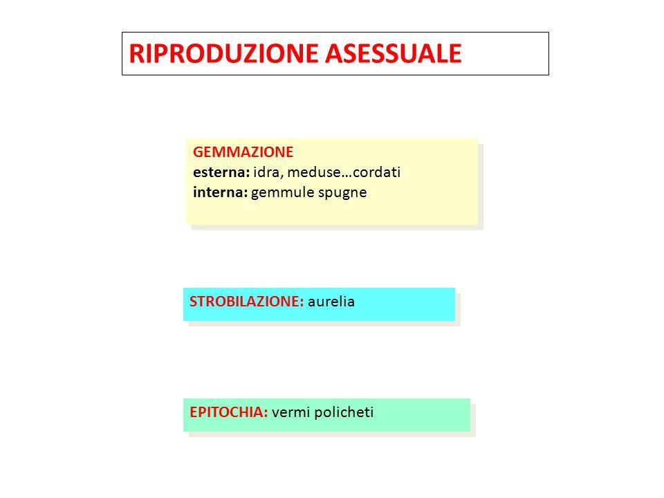 RIPRODUZIONE ASESSUALE FRAMMENTAZIONE (RIGENERAZIONE) Lacerazione pedale: Cnidari Planarie Echinodermi