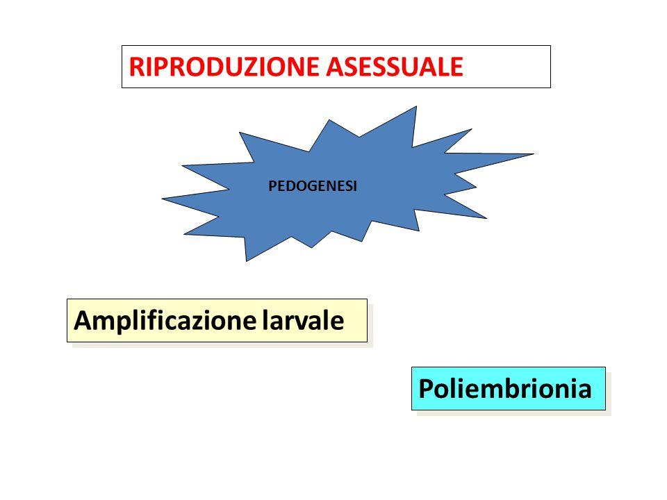 RIPRODUZIONE ASESSUALE Amplificazione larvale Poliembrionia PEDOGENESI