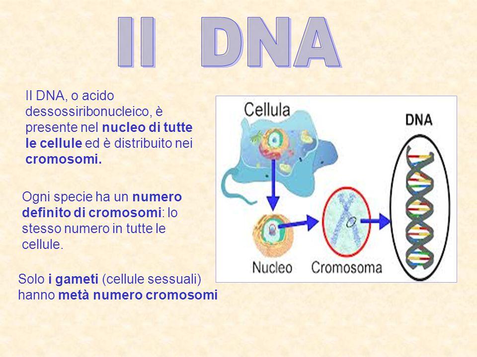 La genetica è lo studio dei caratteri ereditari EREDITARIO vuol dire che si trasmette da una generazione all'altra Un CARATTERE è una caratteristica di essere vivente, come ad esempio il colore dei capelli o degli occhi, la forma del fiore, ecc I caratteri ereditari sono scritti nei GENI Un GENE è un frammento di DNA