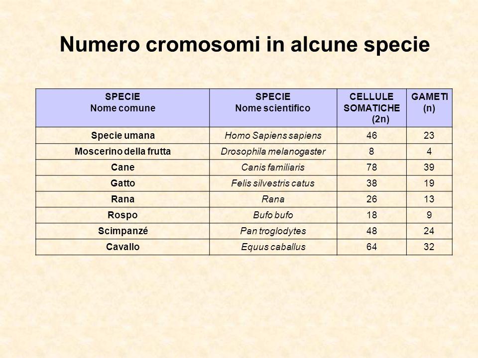 SPECIE Nome comune SPECIE Nome scientifico CELLULE SOMATICHE (2n) GAMETI (n) Specie umanaHomo Sapiens sapiens4623 Moscerino della fruttaDrosophila melanogaster84 CaneCanis familiaris7839 GattoFelis silvestris catus3819 Rana 2613 RospoBufo bufo189 ScimpanzéPan troglodytes4824 CavalloEquus caballus6432 Numero cromosomi in alcune specie