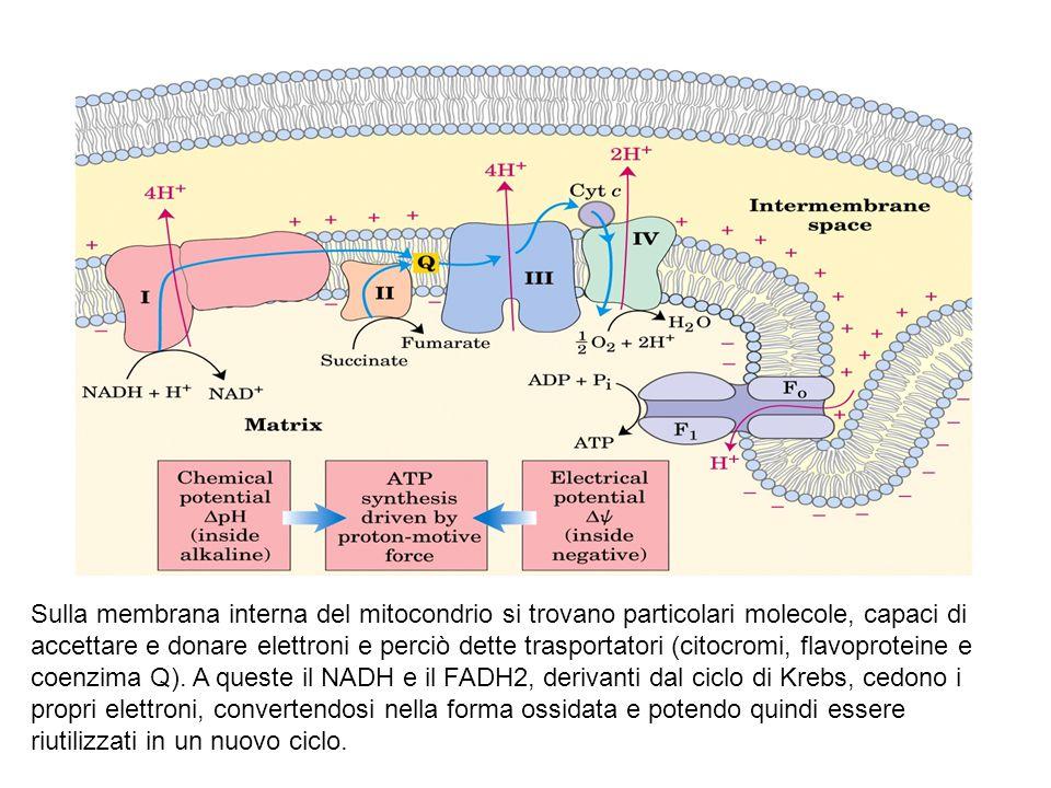 Sulla membrana interna del mitocondrio si trovano particolari molecole, capaci di accettare e donare elettroni e perciò dette trasportatori (citocromi