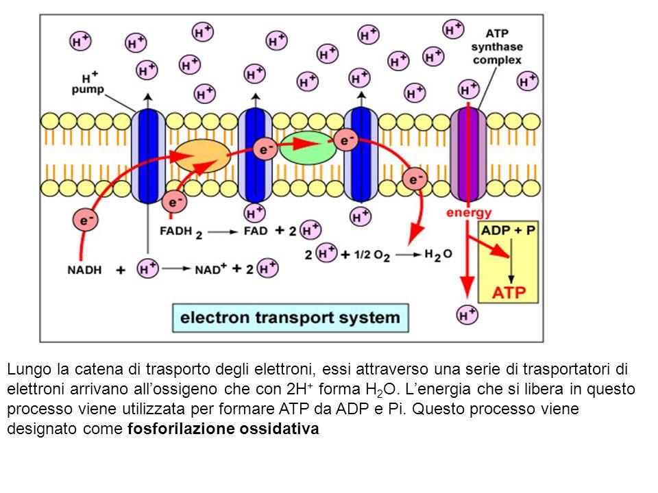 Lungo la catena di trasporto degli elettroni, essi attraverso una serie di trasportatori di elettroni arrivano all'ossigeno che con 2H + forma H 2 O.