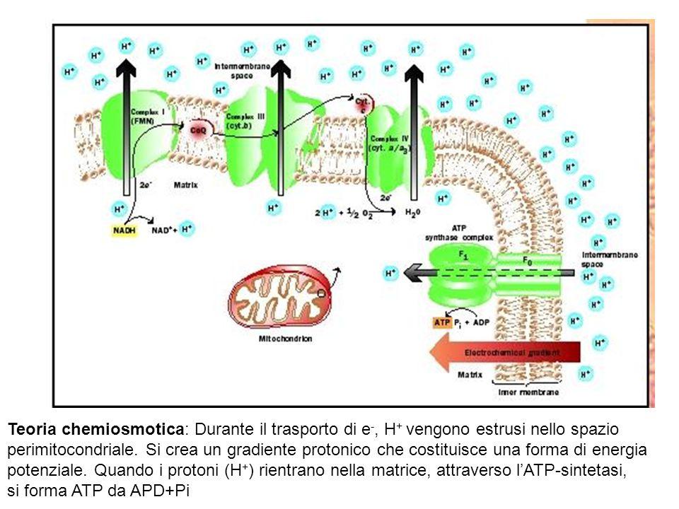 Teoria chemiosmotica: Durante il trasporto di e -, H + vengono estrusi nello spazio perimitocondriale. Si crea un gradiente protonico che costituisce